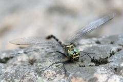 Macromia splendens