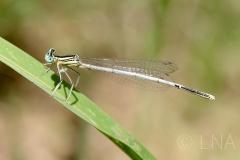 Platycnemis latipes