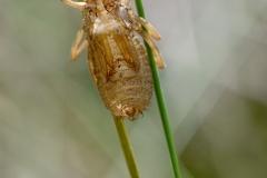 Somatochlora arctica
