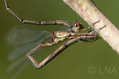 Chalcolestes viridis