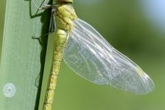 Aeshna affinis