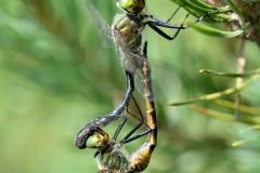 Somatochlora flavomaculata